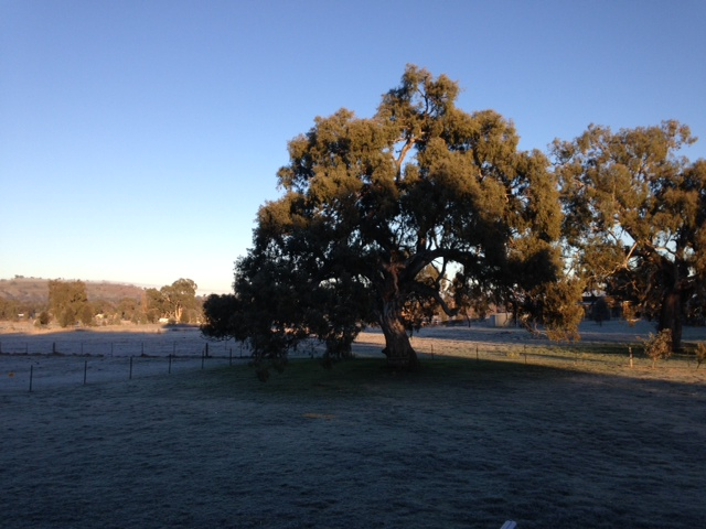 Redgum frosty morning